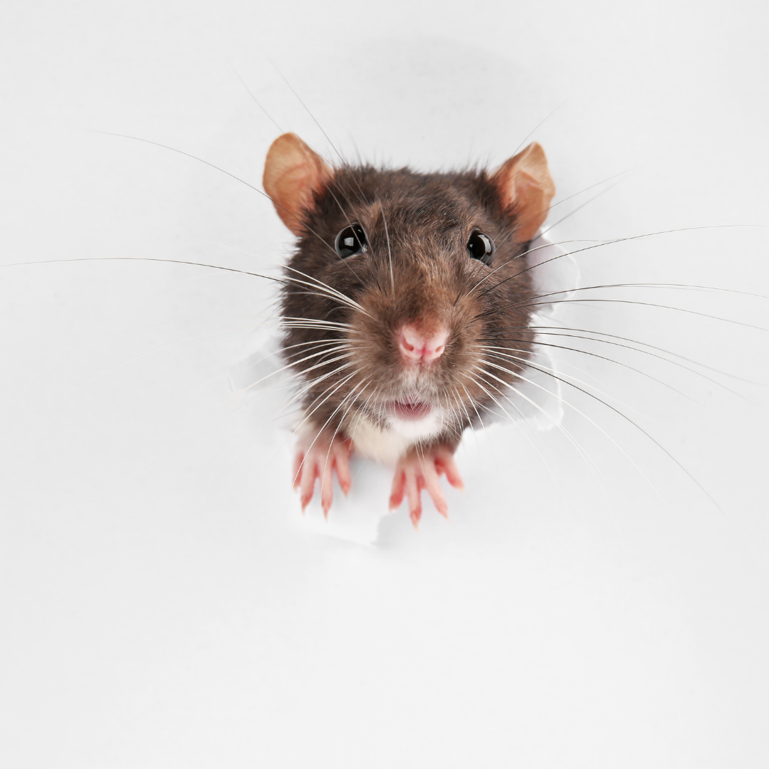 rodent-proofing your home